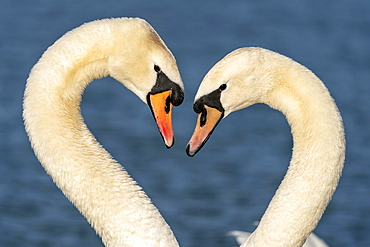 Two Mute swan (cygnus olor), courting, animal portrait, Germany, Europe