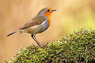 European robin (Erithacus rubecula) Schleswig-Holstein, Germany, Europe