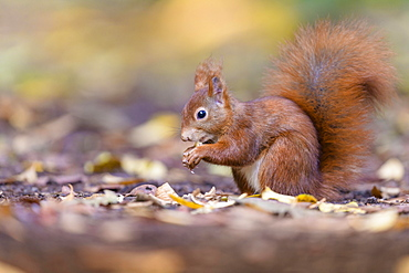 Eurasian red squirrel (Sciurus vulgaris), Lower Saxony, Germany, Europe