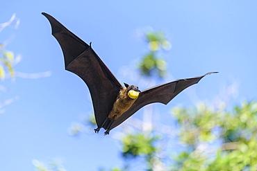 Megabat (Pteropus medius), in flight, Kuramathi, Maldives, Asia