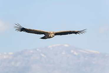 Griffon vulture (Gyps fulvus), in flight, Crete, Greece, Europe