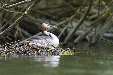 Great crested grebe (Podiceps cristatus), sitting on nest, Lower Saxony, Germany, Europe