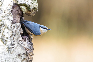 Nuthatch (Sitta europaea), Lower Saxony, Germany, Europe