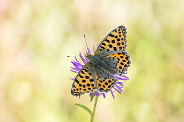 Queen of Spain fritillary butterfly (Issoria lathonia), Lower Saxony, Germany, Europe