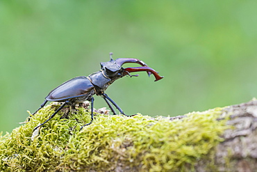 Stag beetle (Lucanus cervus), male, Lower Saxony, Germany, Europe