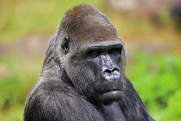 Western gorilla (Gorilla gorilla), adult, male, portrait, captive