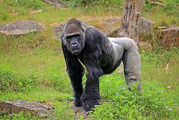 Western gorilla (Gorilla gorilla), adult, male, captive