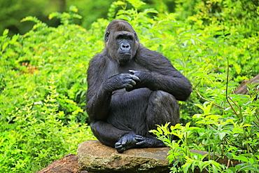 Western gorilla (Gorilla gorilla), adult, female, captive