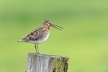Common Common snipe (Gallinago gallinago), sitting on stake, Lower Saxony, Germany, Europe