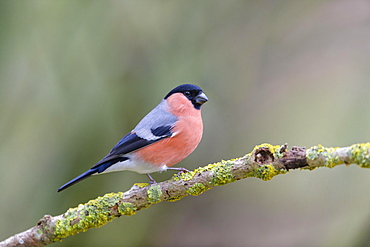 Eurasian bullfinch (Pyrrhula pyrrhula), Lower Saxony, Germany, Europe