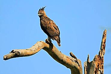Brown snake eagle (Circaetus cinereus), eagle (Accipitriformes), Solio Ranch Wildlife Sanctuary, Kenya, Africa