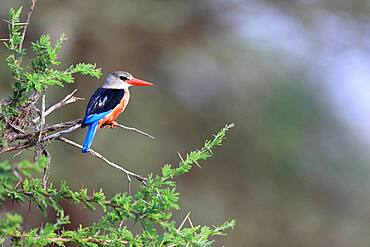 Malachite kingfisher (Corythornis cristatus), Samburu National Reserve, Kenya, Africa