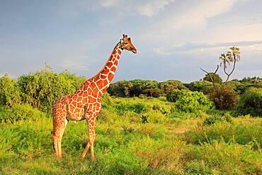 Reticulated giraffe (Giraffa reticulata), Samburu National Reserve, Kenya, Africa