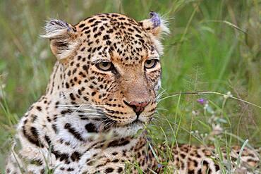 Leopard (Panthera pardus), big cat, portrait, Masai Mara, Kenya, Africa