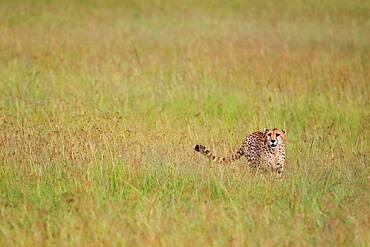 Cheetah (Acinonyx jubatus), stalking, Masai Mara, Kenya, Africa