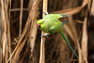 Rose-ringed parakeet (Psittacula krameri), Fuerteventura, Canary Islands, Spain, Europe
