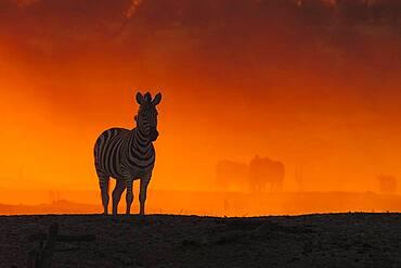 Zebra (Equus burchellii) stands in dust cloud at sunset, Makgadikgadi Pan, Botswana, Africa