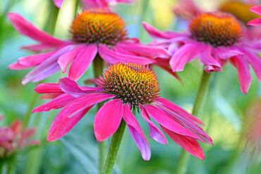 Purple Cone flower (Echinacea purpurea), inflorescence, North Rhine-Westphalia, Germany, Europe