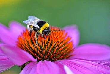 Large earth bumblebee (Bombus terrestris) sitting on a flower, purple coneflower (Echinacea purpurea), North Rhine-Westphalia, Germany, Europe