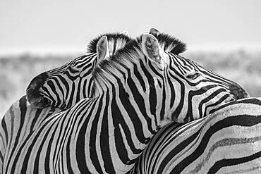 Zebra (Equus burchelli) stripes pattern black and white, Etosha National Park, Namibia, Africa