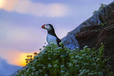 Puffin (Fratercula arctica), evening light, Hornoya, Varanger, Norway, Europe
