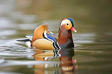 Mandarin duck (Aix galericulata) male swimming in water, Bavaria, Germany, Europe
