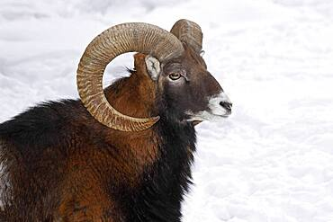 Mouflon (Ovis ammon musimon), ram in winter in the snow, animal portrait, captive, Germany, Europe