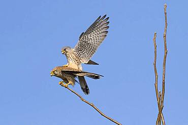 Common kestrels (Falco tinnunculus), mating, Hesse, Germany, Europe