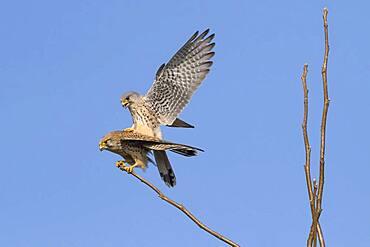Common kestrels (Falco tinnunculus), mating, Hesse, Germany, Europe
