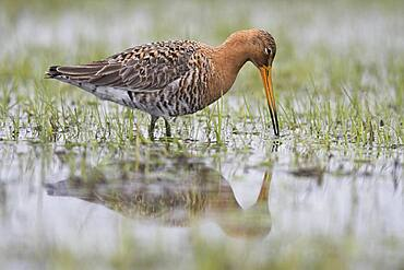 Black-tailed godwit (Limosa limosa), running in wet meadow, Lower Saxony, Germany, Europe