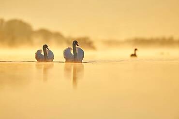 Mute swans (Cygnus olor) swimming on donau river at sunrise, Bavaria, Germany, Europe