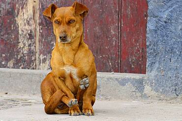 Small female dog, mixed breed, sitting in yoga position, Quinua, Huamanga province, Peru, South America