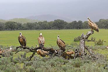 Griffon vulture (Gyps fulvus) at Luderplatz, Castilla-La Mancha, Spain, Europe