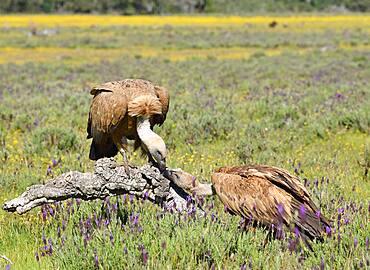Griffon vulture (Gyps fulvus) on a dead tree, Castilla-La Mancha, Spain, Europe