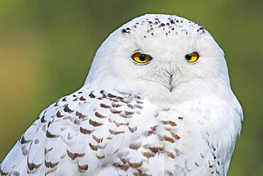 Snowy owl (Nyctea scandiaca), animal portrait, Germany, Europe