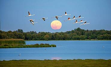 Greater flamingos (Phoenicopterus roseus) in flight, pink flamingos in front of the setting sun over a lake, Donana National Park, Huelva Province, Andalusia, Spain, Europe