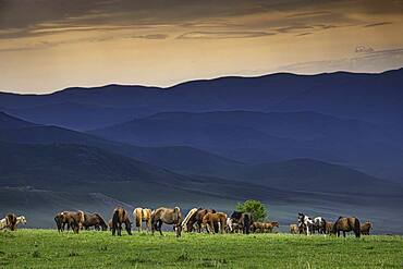 Domestic Horses (Equus ferus caballus) in summer on mountain, Arkhangai province, Mongolia, Asia