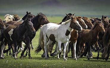 Domestic Horses (Equus ferus caballus) in summer, Arkhangai Province, Mongolia, Asia