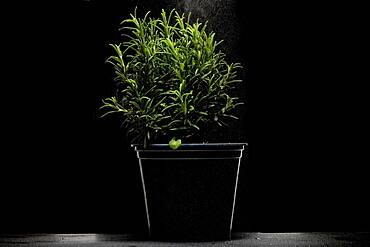 Rosemary (Rosmarinus officinalis) in pot , dark background