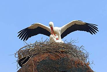 White storks (Ciconia ciconia), mating on the nest, Schleswig-Holstein, Germany, Europe