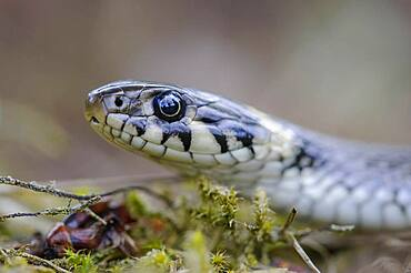 Grass snake (Natrix natrix), portrait, Oldenburger Muensterland, Visbek, Lower Saxony, Germany, Europe