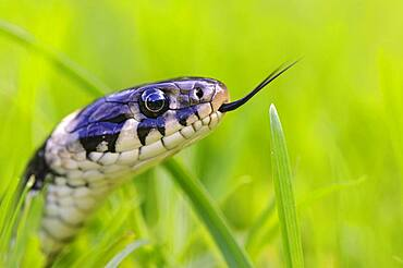 Bridled grass snake (Natrix natrix) in grass, portrait, Oldenburger Muensterland, Visbek, Lower Saxony, Germany, Europe