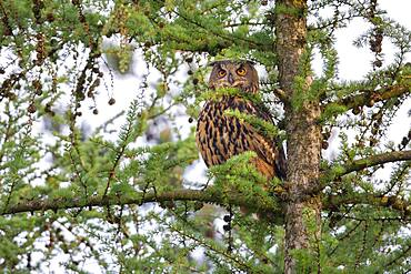 Eurasian eagle-owl (Bubo bubo) in a larch, owl, Oldenburger Muensterland, Vechta, Lower Saxony, Germany, Europe
