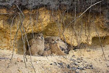 Young eagle owls (Bubo bubo) in a nest in a gravel pit, owl, Oldenburger Muensterland, Vechta, Lower Saxony, Germany, Europe