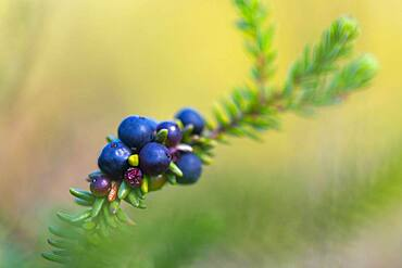 Crowberry (Empetrum), raised bog, Diepholzer Moorniederung, Wagenfeld, Lower Saxony, Germany, Europe