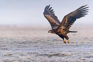 Flying white-tailed eagle (Haliaeetus albicilla) in winter, Kutno, Poland, Europe