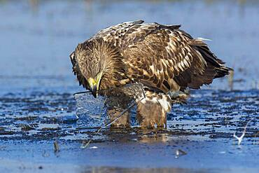 Young white-tailed eagle (Haliaeetus albicilla) playing with an ice floe, Kutno, Poland, Europe