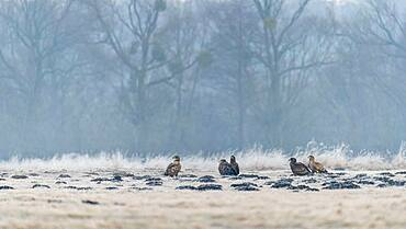 Young white-tailed eagles (Haliaeetus albicilla) sitting in a meadow in winter landscape, Kutno, Poland, Europe