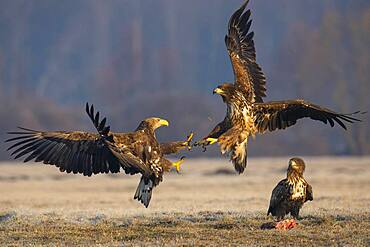 Two young white-tailed eagles (Haliaeetus albicilla) quarreling in the air, Kutno, Poland, Europe