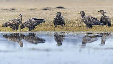 Young white-tailed eagles (Haliaeetus albicilla) standing at the edge of a water body in winter, Kutno, Poland, Europe